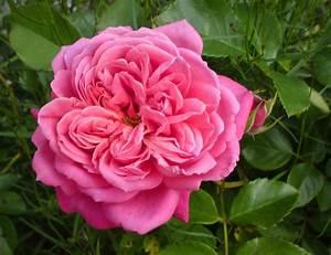 Begleitpflanzen Für Rosen : rosen f r die sch nheitspflege ~ Orissabook.com Haus und Dekorationen