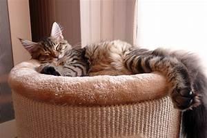 Arbre À Chat Pour Gros Chat : trouver un arbre chat pour un maine coon et grand chat ~ Nature-et-papiers.com Idées de Décoration