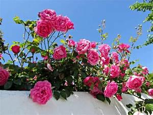 Rosen Für Balkon : welche balkonpflanzen f r sonnigen balkon w hlen ~ Michelbontemps.com Haus und Dekorationen