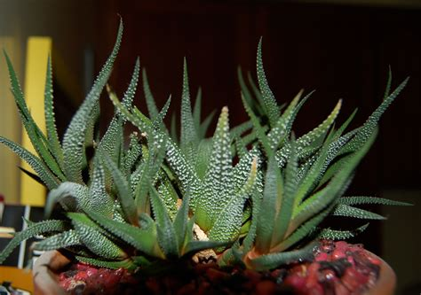 types of cacti 5 tips for keeping cactus indoor home and gardening