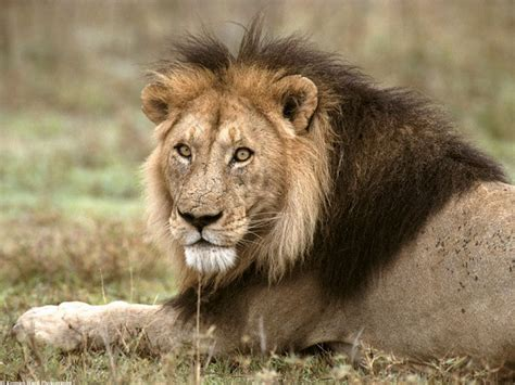 Lion (behaviour  Reproduction And Life Cycle)  Animal Planet