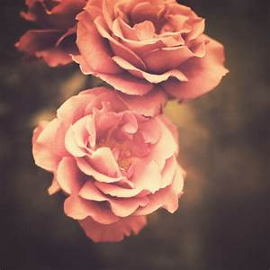Roses (Vintage Flower Photography) Art Print   Flower ...