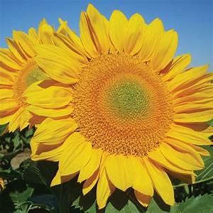 Procut U00ae Gold  F1  Sunflower Seed