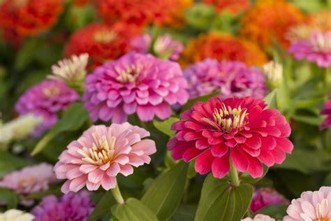 grow zinnias  burst  hot flower colors
