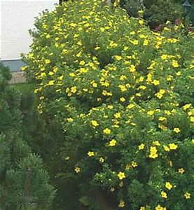Bodendecker Gelb Blühend : f nffingerstrauch pflanzen f r nassen boden ~ Frokenaadalensverden.com Haus und Dekorationen