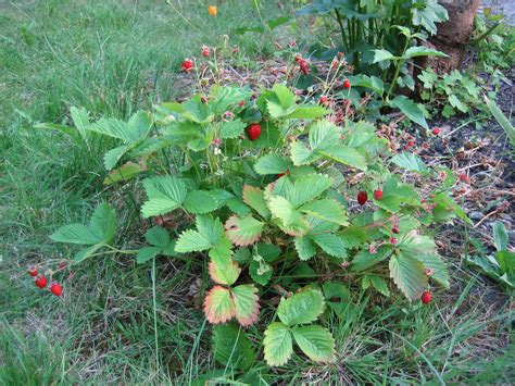 strawberry plants file whole wild strawberry plant uk 2006 jpg
