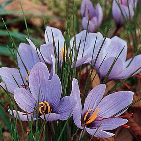 crocus sativus gurneys seed nursery