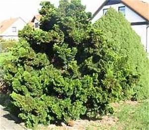 Langsam Wachsende Hecke : chamaecyparis obtusa nana muschelzypresse pflege standort ~ Michelbontemps.com Haus und Dekorationen