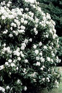 Laurier Tin : laurier tin planter et tailler ooreka ~ Mglfilm.com Idées de Décoration