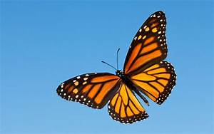Monarch, Butterfly, Wallpapers