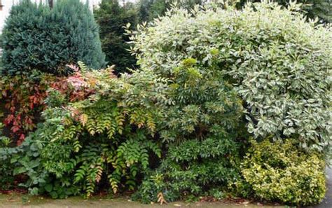 evergreen shrubs for borders evergreen mixed shrub border gardening pinterest