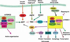Schematic Illustration Of The Mtor Signaling Pathway  Ampk