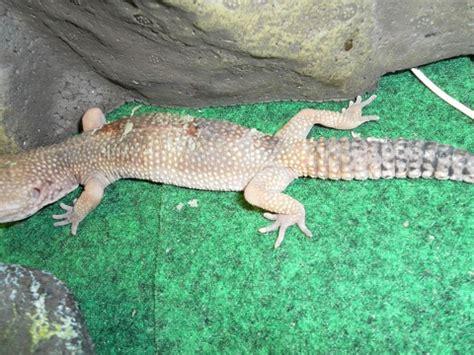 100 do baby leopard geckos shed help son u0027s