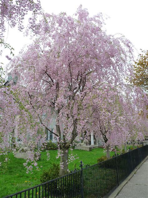 weeping higan cherry prunus subhirtella pendula