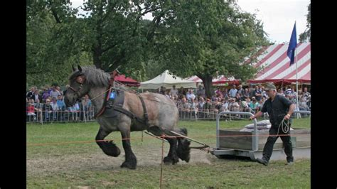 draft pulling belgian horses contests