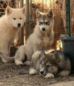 101 best Wolfdog education images on Pinterest | Wolf dogs ...