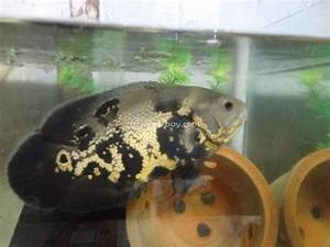 7 inch Black Tiger Oscar Fish 4 Cheap Rate Muttathara ...