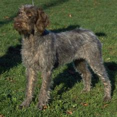 wirehaired pointing griffon puppies for sale akc puppy