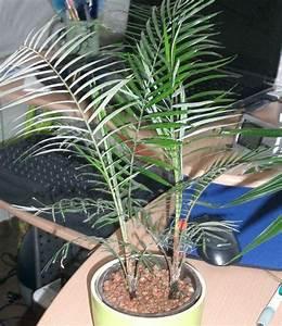 Welche Erde Für Palmen : palmen und co lytocaryum weddelianum ~ Watch28wear.com Haus und Dekorationen