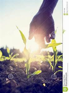 Hand Reaching Down To A Young Maize Plant Stock Photo ...