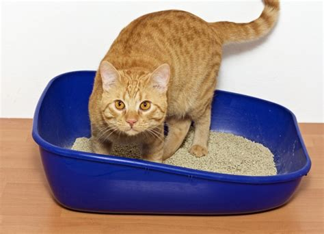 cat won t use litter box why won t my cat use their litter tray pets4homes