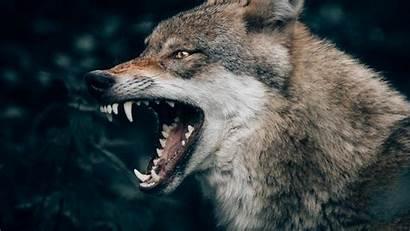 Wolf Lone Philipp Pilz