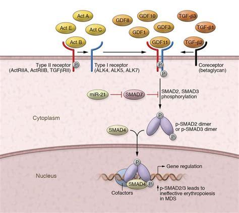 JCI - Biological basis for efficacy of activin receptor ...