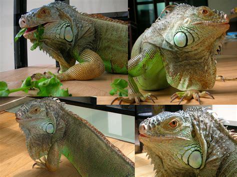 iguana pet pet iguana www imgkid com the image kid has it