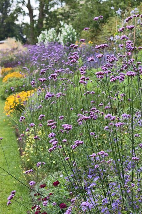 massif verveine buenos aires flowers hummer gardens and wonderful flowers