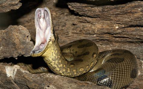 anaconda open  mouth wallpaperscom