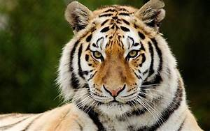 Big cats Tiger Snout Glance Animals wallpaper | 1920x1200 ...