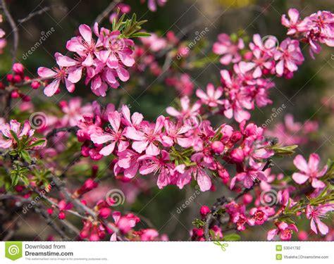 baum mit rosa blüten bl 252 hender baum mit rosa blumen im fr 252 hjahr stockfoto bild empfindlich april 53041792