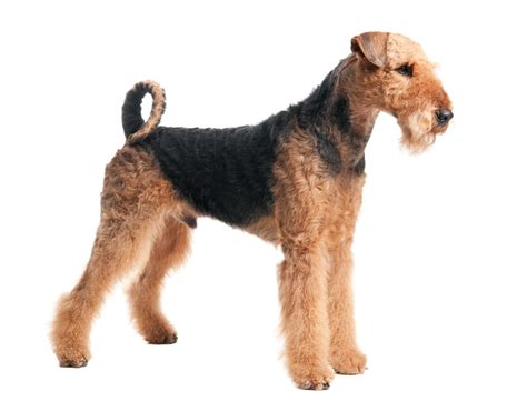 do airedale puppies shed top 30 dogs that don t shed small medium and large