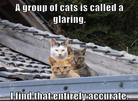 Glaring Meme - a group of cats is called a glaring dobrador cats