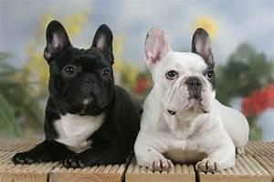 Hundebekleidung Französische Bulldogge : franzoesische bulldogge arco images bildagentur ~ Frokenaadalensverden.com Haus und Dekorationen