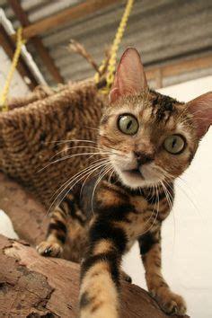 bobcat  domestic cat  sale  nc house cat nurses orphaned bobcat kittens love