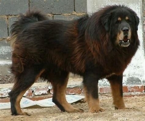 Caucasian Shepherd | A Massive Prison Guard Dog