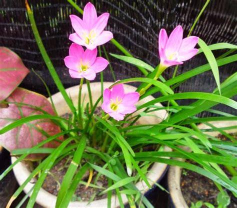 tanaman hias cocok dataran rendah