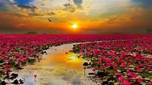 Lotus, Flowers, Wallpapers