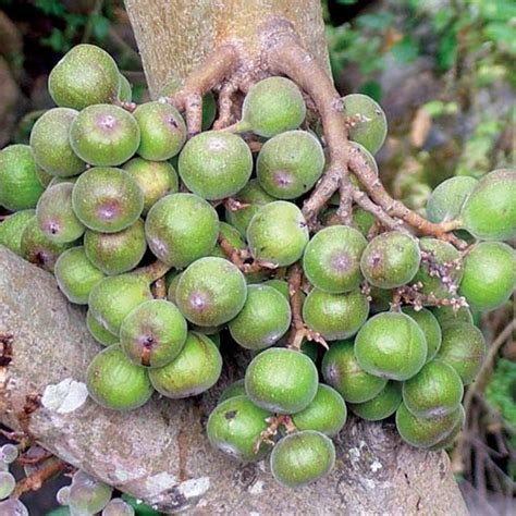 gular tree image ficus racemosa seeds cluster fig tree indian fig tree goolar gular fig plant world seeds