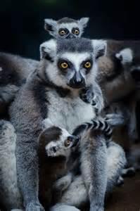 Lemur Family Animals
