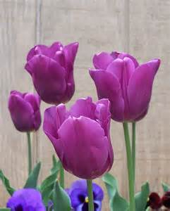 Beautiful Purple Tulips Flowers
