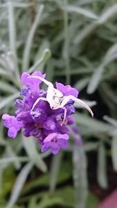 Echter Lavendel Kaufen : echter lavendel lavandula angustifolia dr schweikart ~ Eleganceandgraceweddings.com Haus und Dekorationen