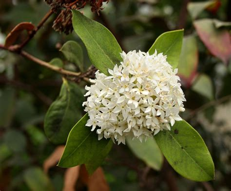 Acokanthera Rotundata Grows As A Shrub Or Small Tree Its