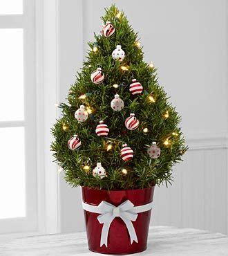 mini christmas tree live lights of rosemary tree the lights of rosemary tree is a