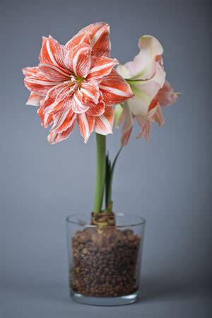ritterstern amaryllis pflege anleitung der zimmerpflanze