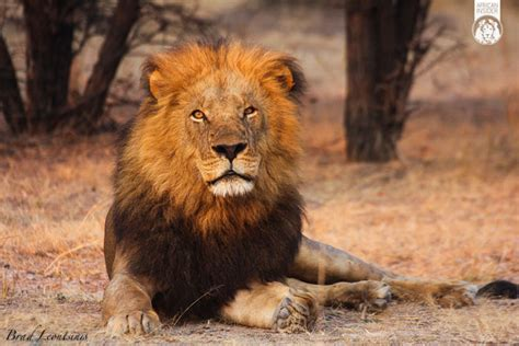 lions life  lesson  hunting africa geographic