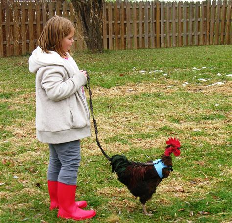 chicken breeds for 4 h with 1000 images about chickens on