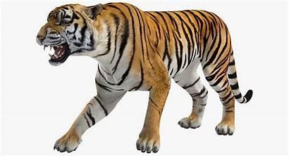 Tiger Roar 3d Models Turbosquid Modification
