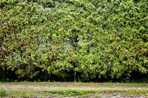 thuja hecke 187 wurzeln vom lebensbaum entfernen